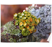 Glory Of Lichens Poster