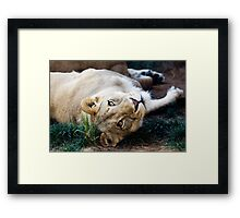 A Lioness Contemplates Her Next Meal Framed Print
