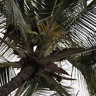 Coconut Tree by Soulmaytz