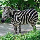 Zebra - Singapore by Ralph de Zilva