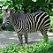 Zebra - Singapore by Ralph de Zilva