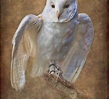 Barn Owl hunting by Peter D