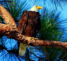 The eagle of the wetlands  by Davidsdigits