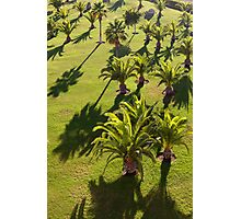 Palms backlit by the evening sun Photographic Print