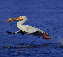 Running On Water - American White Pelican by John Absher