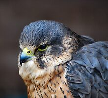 Beautiful Bird of Prey by Jennie Anderson
