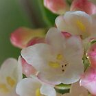Pink blossoms by Heather Thorsen