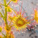"""Sundew""  Kalbarri National Park, Western Australia by wildimagenation"