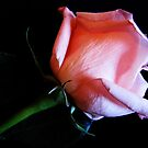 A Pink Rosebud by Mistyarts