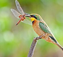 Little Bee-eater by Lamprecht