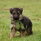 German Shepherd Puppies by Sandy Keeton