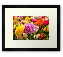 field of multicoloured cultivated Buttercup (Ranunculus) flowers Framed Print