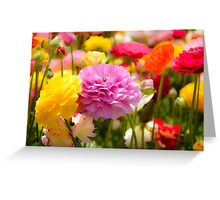 field of multicoloured cultivated Buttercup (Ranunculus) flowers Greeting Card