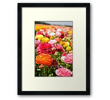 ield of multicolor cultivated Buttercup (Ranunculus) flowers Framed Print