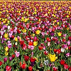 All Tulips by Marvin Mast