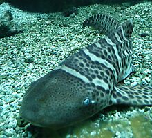 Pretty Zebra Shark