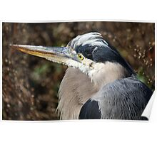 Close Up Great Blue Heron Poster