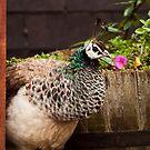 Peacock-a-boo by Alexander Bampton