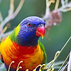 Rainbow Lorikeet by Josie Mackerras