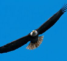 Bald Eagle In Flight by Michael Mill