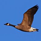 Canada Goose in Flight by Michael Mill