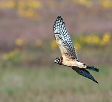 Northern Harrier by Michael Mill