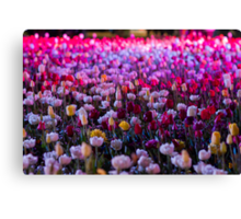 Fields of Tulips - Floriade Nightfest, Canberra Australia. Canvas Print