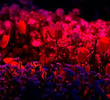 Vibrant Red - Floriade Nightfest, Canberra Australia. by Joseph O'R.