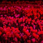 Red Field - Floriade Nightfest, Canberra Australia. by Joseph O'R.