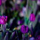 Purple Haze - Floriade Nightfest, Canberra Australia. by Joseph O'R.