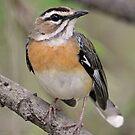 Bearded Scrub Robin by jozi1