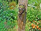 Annual Cicada - Tibicen linnei by MotherNature