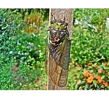 Annual Cicada - Tibicen linnei Photographic Print