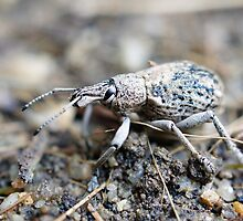 Giant Weevil  by Henry Inglis
