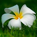 Frangipani flower on green grass by Nhan Ngo