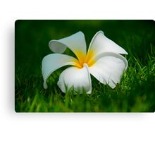 Frangipani flower on green grass Canvas Print