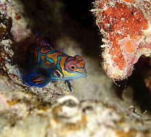 Mandarinfish - Synchiropus splendidus by Andrew Trevor-Jones