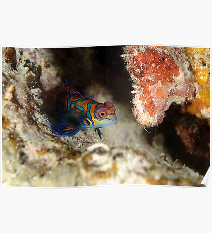 Mandarinfish - Synchiropus splendidus Poster