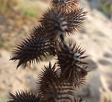 Noogoora Burrs - Burdekin River near Charters Towers, North Queensland, by myhobby