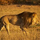 Kalahari Lion by Tweety300