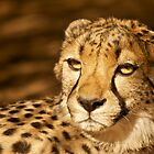 Cheetah by Tweety300