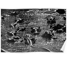 Hippos in the pool Poster
