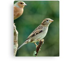 female Chaffinch Canvas Print