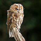 Tawny Owl by Ellesscee