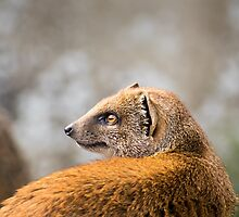 Mongoose by Ellesscee