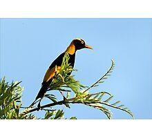 Regent Bowerbird 2 Photographic Print