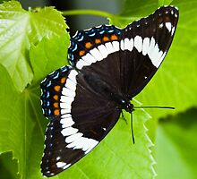 White Admiral Butterfly by Halobrianna
