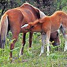 FREE RANGE  HORSES by Raoul Madden