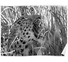 Yawning Cheetah Poster