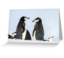 Chinstrap penguins (Pygoscelis antarctica). These birds feed almost exclusively on krill.  Greeting Card